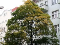 Baum des Jahres 2009 - Berg-Ahorn in der Knobelsdorffstraße