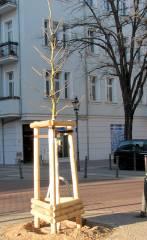 Ein bereits gepflanzer Baum in der Danckelmannstraße