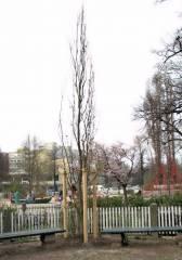 Eine neue Säuleneiche auf dem Klausenerplatz