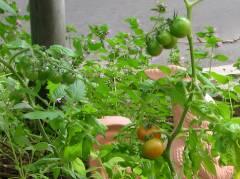 Tomaten und Paprika reifen direkt vor der Tür heran ....