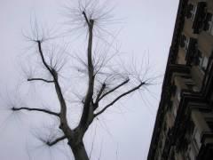 Platanen in der Danckelmannstraße - Januar 2009