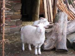 Bella und Blanka vom Ziegenhof