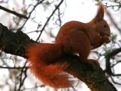 Eichhörnchen im Schloßpark Charlottenburg