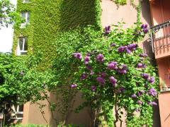 Blühender Flieder im Kiezer Hinterhof