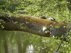 Enten beim Sonnenbad im Schloßpark