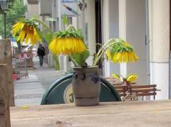 Baugrubenabsperrung als Blumenbank mit Sonnenblumen