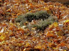 Eine Fuhre goldenes Herbstlaub