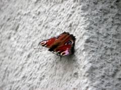 Schmetterling (Tagpfauenauge) an der Fassade der Eosander-Schinkel-Grundschule in Charlottenburg