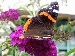 Schmetterling (Admiral) vor der Eosander-Schinkel-Grundschule in Charlottenburg