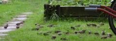 Spatzen in der Kleingartenanlage / Foto © Kolonie Bundesallee