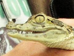 Kleines Krokodil in der Krokodilstation Golzow
