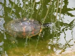 Schildkröte in der Krokodilstation Golzow