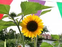 Wenn die Sonnenblume aufgeht - in der Kleingartenkolonie Oeynhausen