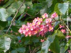 Rote Kastanienblüten