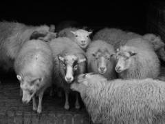 Schafe im Tierpark Friedrichsfelde