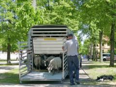 Ankunft der Schafherde im Schloßpark Charlottenburg