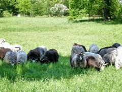 Schafe weiden auf der Wiese vor dem Belvedere