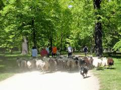 Schafherde auf dem Weg durch den Schloßpark Charlottenburg