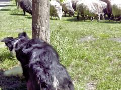 Der Hütehund passt auf seine Schafherde auf.