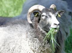 Schloßpark-Wiese wird gekürzt - leiser wie ein Rasenmäher ist das Schaf auf jeden Fall