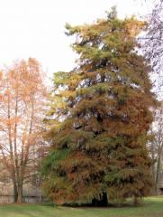 Sumpfzypresse im Schloßpark Charlottenburg