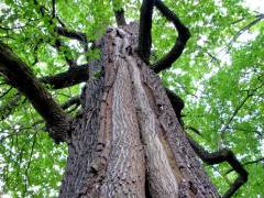 """Alter Baum im Schloßpark Charlottenburg - Von Parkfreunden """"Luisenbaum"""" genannt"""