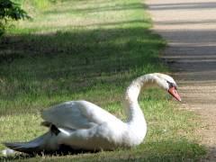 Sommer im Schloßpark Charlottenburg - ein Schwan hält Ausschau am Wegesrand