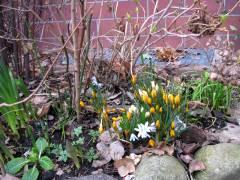 Frühlingsboten - Hoffnungszeichen (in einem Kiezer Hinterhof)