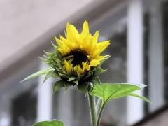 <span>Eine etwa 2,50 Meter hohe Sonnenblume in der Neufertstraße, jetzt mit Blüte - Oktober 2008</span>