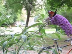 Schmetterlinge im Ziegenhof - Tagpfauenauge