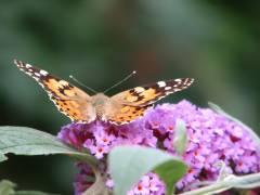Schmetterlinge im Ziegenhof - Distelfalter