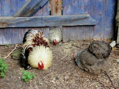 Hühner im Ziegenhof