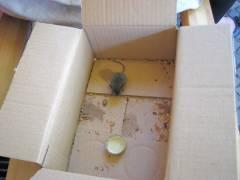Maus in der Kiste