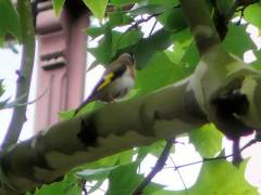 Ein Stieglitz auf einem Baum in der Danckelmannstraße