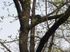 Vogelnester in Bäumen im Horstweg