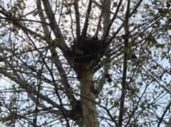 Vogelnest auf einem Baum in der Danckelmannstraße
