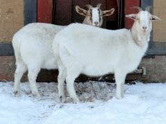 Winter im Kiez - Ziegen im Schnee (Dez. 2014)