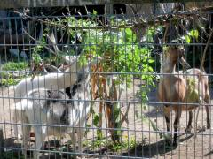 Sonntagsfrühstück der Ziegen im Ziegenhof