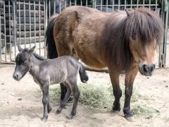 Shetlandpony Renate mit ihrer Mutter Froni im Berliner Zoo / Foto © Frank Wecker